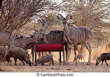 Kudu Herd and Worthogs at Feeding Pit in Bushveld