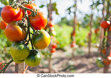 Closeup of tomatoes ripening on a tomato vine Solanum...