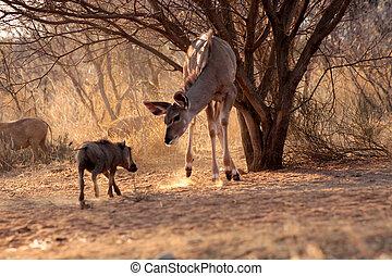 Kudu Ewe Standoff - Young Kudu Ewe Standoff with Pushy...