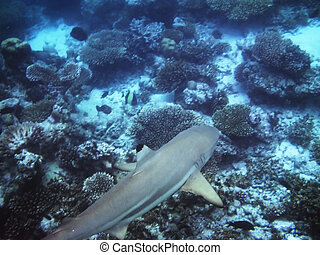 Shark seen on the coral reef in the Maldives