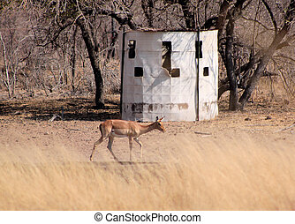 Bow Hunters Hideout with Impala Walking Past