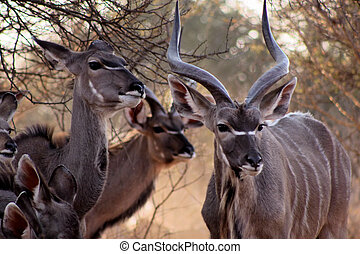 Kudu Family Bull and Ewe in Bushveld Under Thorn Tree