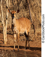 Young Alert Female Njala Between Bushveld Trees