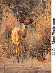 Young Female Njala in Winter Sunset Sun - Young Female Njala...