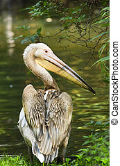 Rosy- or Great white pelican