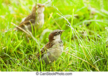 House sparrows or Passer domesticus feeding with grass seeds...