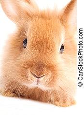 coelho, isolado, branca, fundo