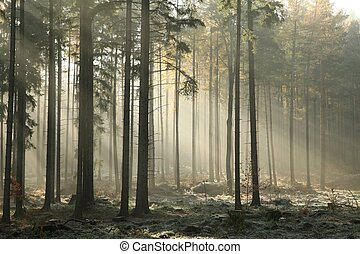 Misty coniferous forest at dawn - Picturesque autumnal...