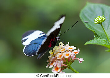 Heliconius sapho is a member of the pupal-mating clade of...