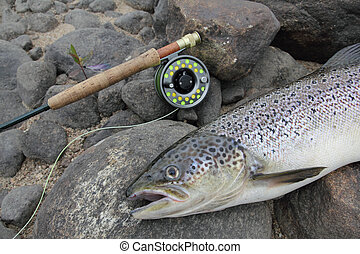 salmon fishing - closeup of an atlantic salmon and a fly...