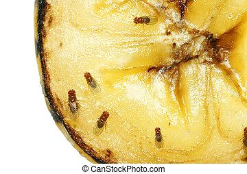 Fruit flies on rotting banana - Macro of common fruit flies...