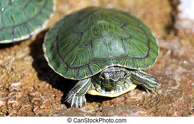 baby red eared slider turtle