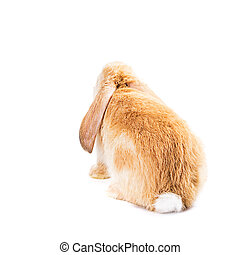 Cute red rabbit isolated  on white background, back view