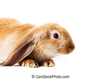 Cute red rabbit isolated  on white background