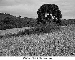 araucaria,  angustifolia,  -,  plantacao
