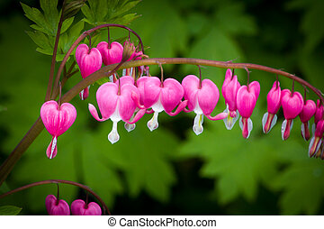 Bleeding Heart Flower - An attractive Bleeding Heart plant...