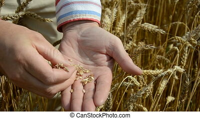 farmer looking and checking grains