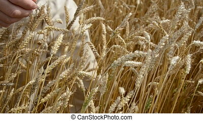 farmer hands pluck  wheat ears