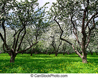 Spring in apple garden - Blooming apple trees at spring...