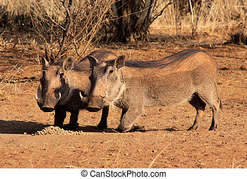 Alert Warthogs Eating Pellets - Alert Warthogs Eating...