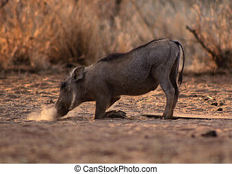 Small Warthog Blowing Dust To Find Food - Small Warthog...
