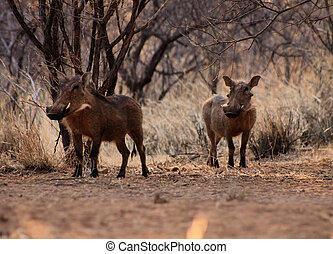 Alert Warthogs Under Bushveld Trees - Two Alert Warthogs...