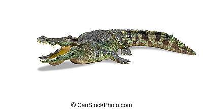 grande, Crocodilo, isolado, branca, Cortando, caminho,...
