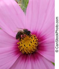 Bee Flower - Bee on pink cosmos flower