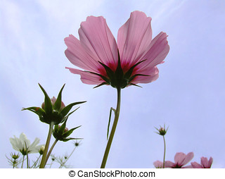 Cosmos Sky - Pretty pink cosmos flowers against the sky