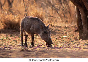 Warthog Piglet Eating in Clearing in Winter Bushveld