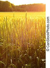 フィールド, 夕方, 小麦, 太陽