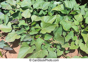 Sweet Potato Plants - Closeup photo of a field with sweet...