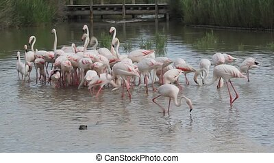 Feeding the flamingos in the Camargue national park South...