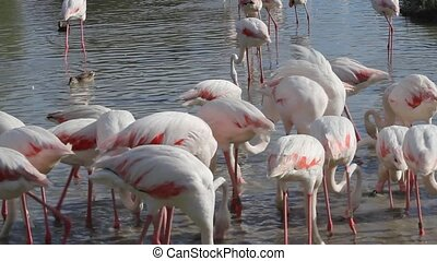 The group of Flamingos in the lake Camargue, South France