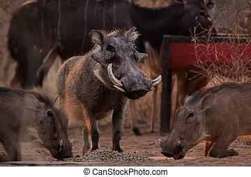 Alert Warthogs Eating Pellets with Guard - Alert Warthogs...