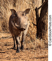 Large Alert Warthog Male Under Bushveld Tree