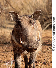 Warthog Male Close-up - Close-Up Picture of a Bushveld...