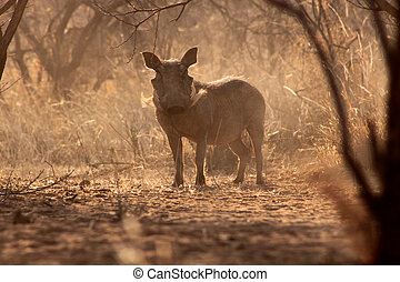 Alert Warthog Male in Dusty Bush - Alert Warthog Male in...