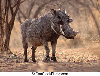 Large Alert Warthog Male Under Bushveld Trees