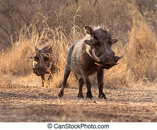 Alert Warthogs Walking Through Bushveld Grass - Two Alert...