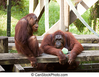 Two orangutans sitting on wooden planks in relaxed pose