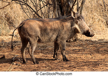 Warthog Male Basking - Closed Eyed Warthog Male Basking in...