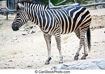 Burchells Zebra Equus quagga burchellii