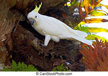 enxofre, crested, cockatoo, natureza, cercar