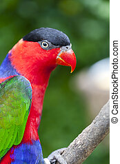 Lorius Lory - The Black-capped Lory (Lorius lory) also known...