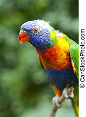 Trichoglossus haematodus - The Rainbow Lorikeet...