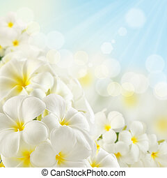 Bouquet of plumeria flowers and sunlight