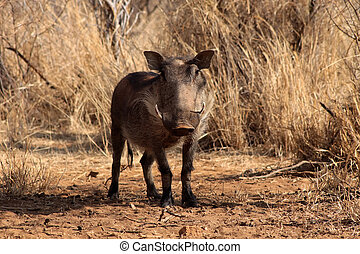 Alert Warthog Male in Clearing Between Bushveld Trees