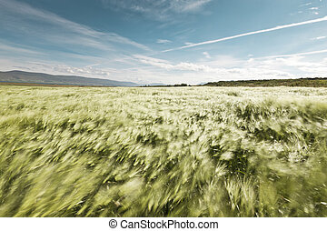Wheatfield blowing in the wind - Landscape of a beautiful...