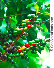 coffee plant - bright red and green fruits of the coffee...